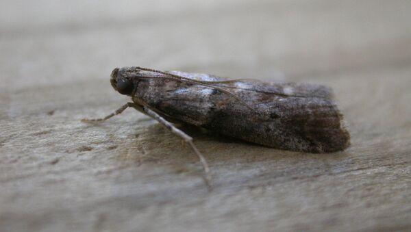 Una mariposa de la familia de pirálidos (Pyralidae) - Sputnik Mundo