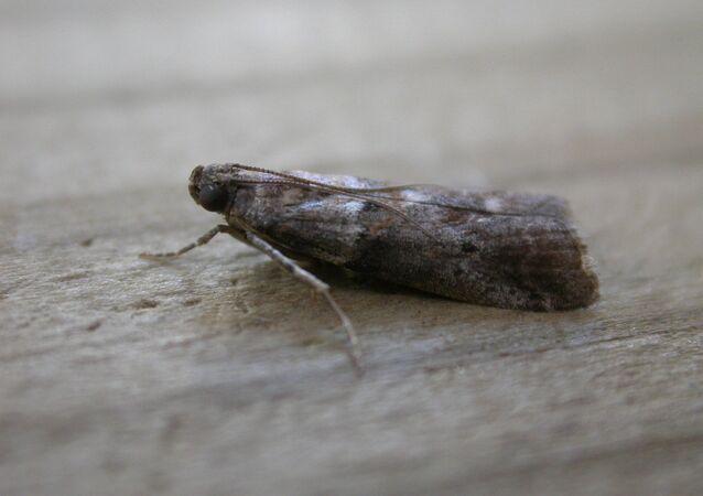 Una mariposa de la familia de pirálidos (Pyralidae)
