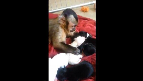 Una mona se hace cargo de cachorros de perro - Sputnik Mundo
