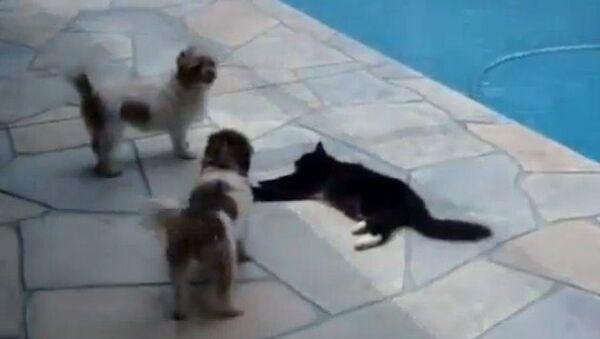 Un gato judoka se enfrenta a dos perros - Sputnik Mundo