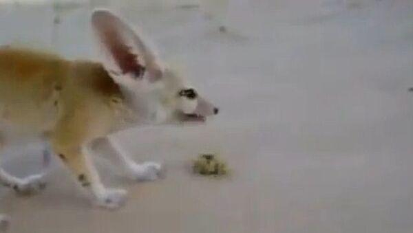 Duelo a muerte de un zorro del desierto y un escorpión - Sputnik Mundo
