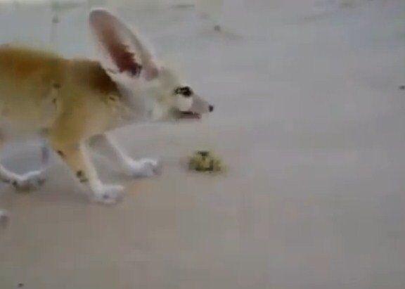 Duelo a muerte de un zorro del desierto y un escorpión