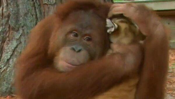 Un orangután adopta cachorros de tigre - Sputnik Mundo