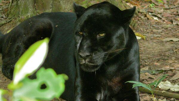 Black Jaguar (Panthera onca) - Sputnik Mundo