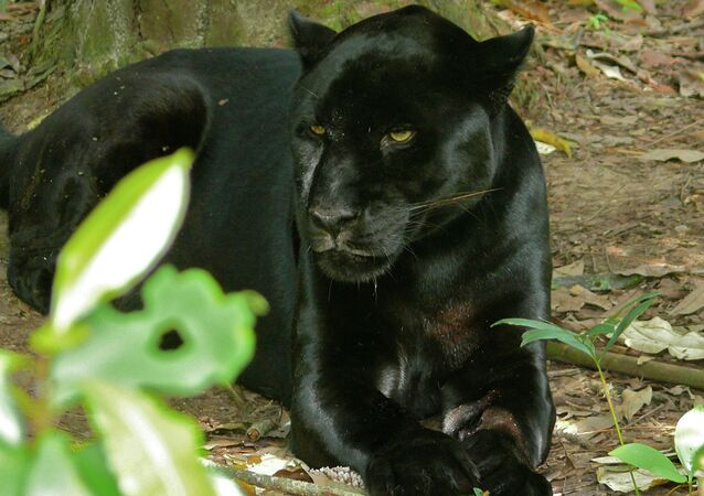 Pantera negra (archivo)