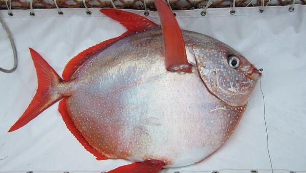 Lampris guttatus (Moonfish) - Sputnik Mundo