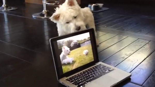 Cachorros atrapados en  un portátil - Sputnik Mundo