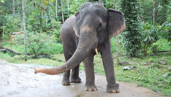 Elefante en India (archivo) - Sputnik Mundo