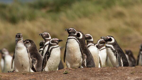 Sobrepesca en Argentina provoca llegada masiva de pingüinos a Brasil - Sputnik Mundo