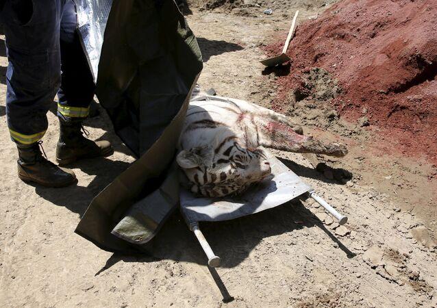 El tigre que mató a una persona en Tiflis