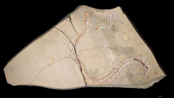 Eupodophis descouensi, serpiente con pies antiguo de la familia  Pachyophiidae - Sputnik Mundo
