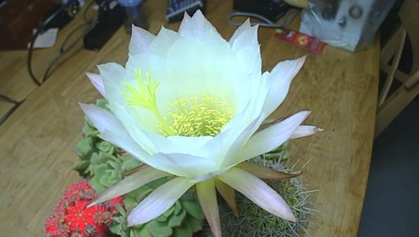 Así florece un cactus - Sputnik Mundo