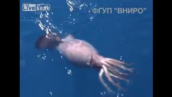 El ataque de un calamar gigante - Sputnik Mundo
