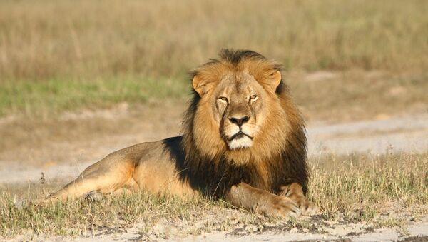 León Cecil en el Parque Nacional Hwange, Zimbabue - Sputnik Mundo