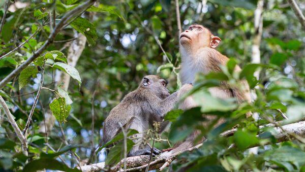 Monos en el bosque - Sputnik Mundo