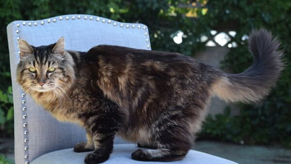 Corduroy, the new oldest living cat according to Guinness World Records, is shown in Sister, Oregon, in this undated handout photo provided by the Guinness World Records on August 13, 2015. - Sputnik Mundo