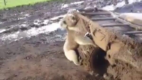 La ira de un koala - Sputnik Mundo