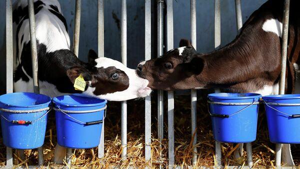 Fabricación de leche en Reino Unido - Sputnik Mundo