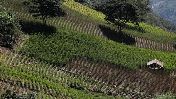 Granja de coca en Huancané, Bolivia - Sputnik Mundo