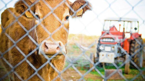 Una vaca en España - Sputnik Mundo