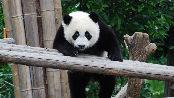 Una panda (archivo) - Sputnik Mundo