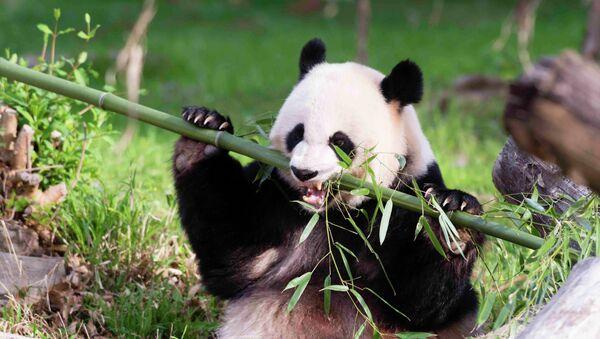 Panda gigante Mei Xiang - Sputnik Mundo