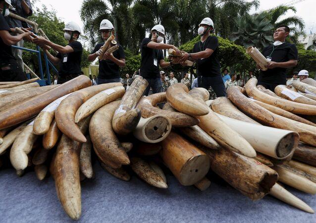 Marfil de contrabando descaminado en Tailandia