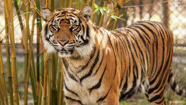 Tigre - Sputnik Mundo