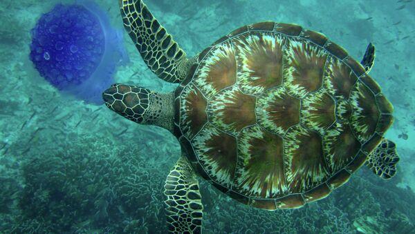 Tortuga marina (imagen ilustrativa) - Sputnik Mundo