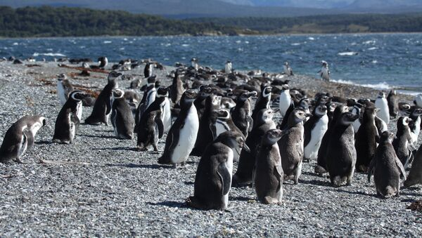 Pingüinos de Magallanes en Argentina - Sputnik Mundo