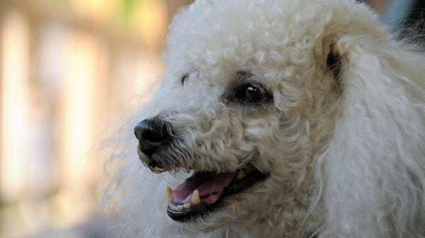 White poodle - Sputnik Mundo