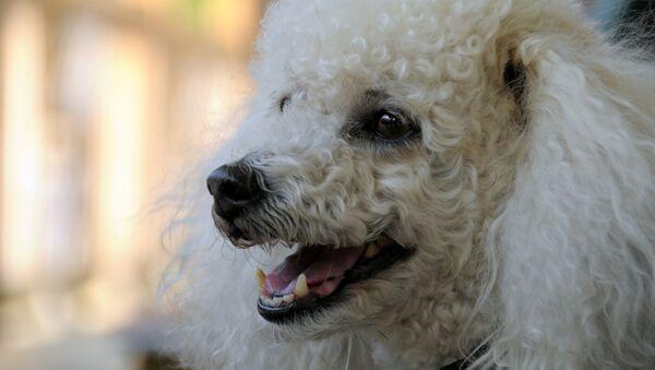 Un perro - Sputnik Mundo