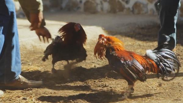 Peleas de gallos en México - Sputnik Mundo