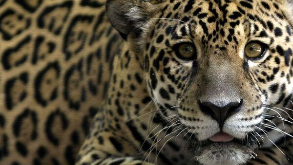 Jaguar - Sputnik Mundo