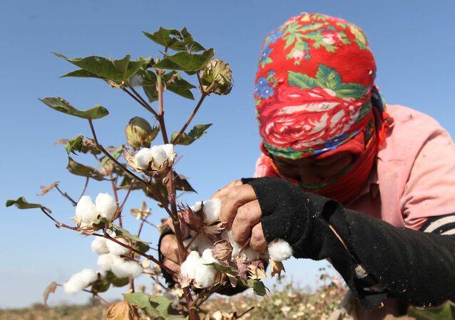 Una mujer recoge algodón