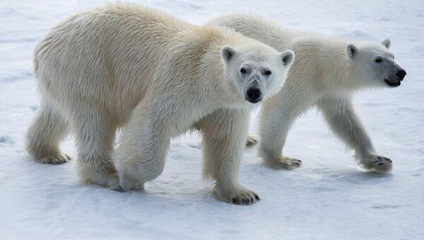 Osos polares - Sputnik Mundo