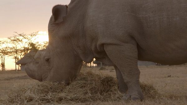 Tres de los últimos rinocerontes blancos - Sputnik Mundo