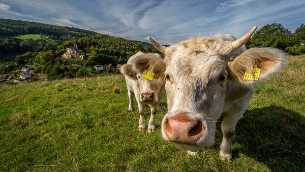 Vacas - Sputnik Mundo