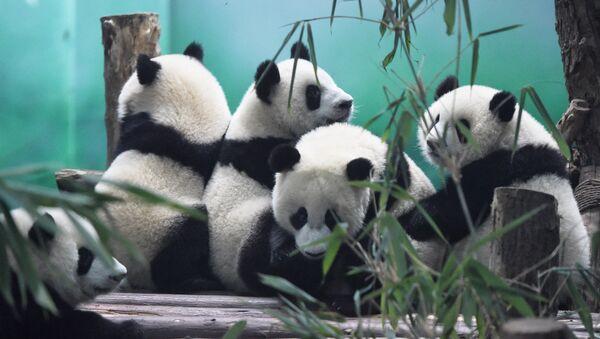 Pandas - Sputnik Mundo