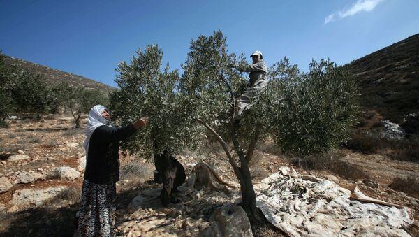Recogida de aceitunas en Palestina - Sputnik Mundo