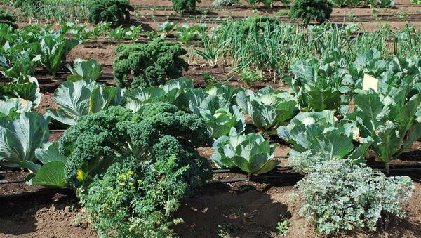 Cultivo de verduras en Guatemala - Sputnik Mundo