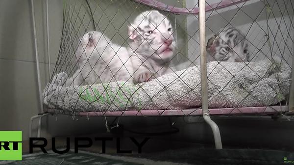Tres pequeños tigres de Bengala en un zoo de Yalta, Crimea (Archivo) - Sputnik Mundo