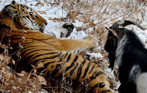 La insólita amistad entre un tigre y un chivo - Sputnik Mundo