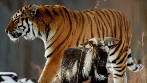 El tigre siberiano Amur y el chivo Timur - Sputnik Mundo
