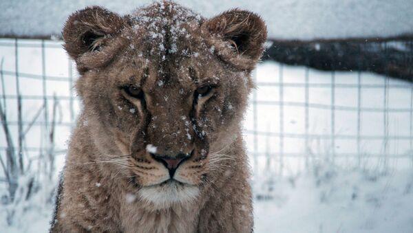 Leona en el parque safari Taigán de Belogorsk - Sputnik Mundo