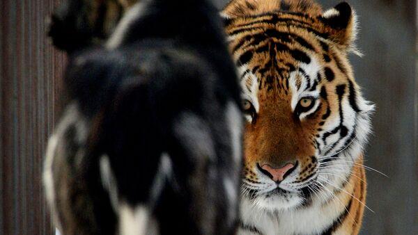 El tigre Amur y el chivo Timur - Sputnik Mundo