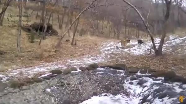 """Un tigre y una cabra juegan al """"corre que te pillo"""" - Sputnik Mundo"""