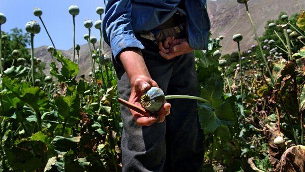 Plantación de la amapola del opio en Afganistán - Sputnik Mundo