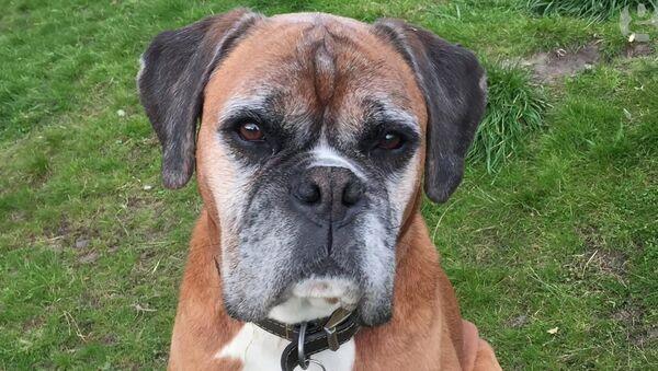 El perro Dylan clonado por una pareja británica - Sputnik Mundo
