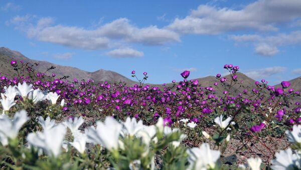 Flores en el desierto de Atacama - Sputnik Mundo